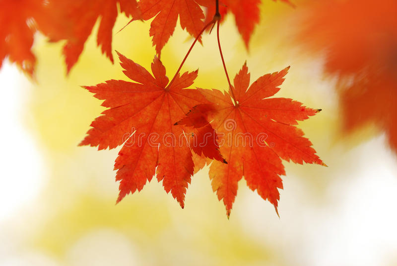 De esdoornbladeren van de herfst stock afbeelding
