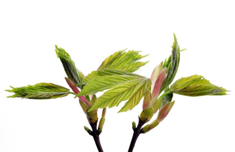 De esdoornboom van de de lentetak met nieuwe groene bladeren royalty-vrije stock fotografie