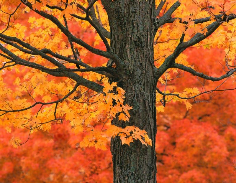 De Esdoornboom van New England in Dalingskleuren stock fotografie