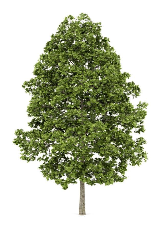 De esdoornboom van Noorwegen op wit wordt geïsoleerd dat vector illustratie