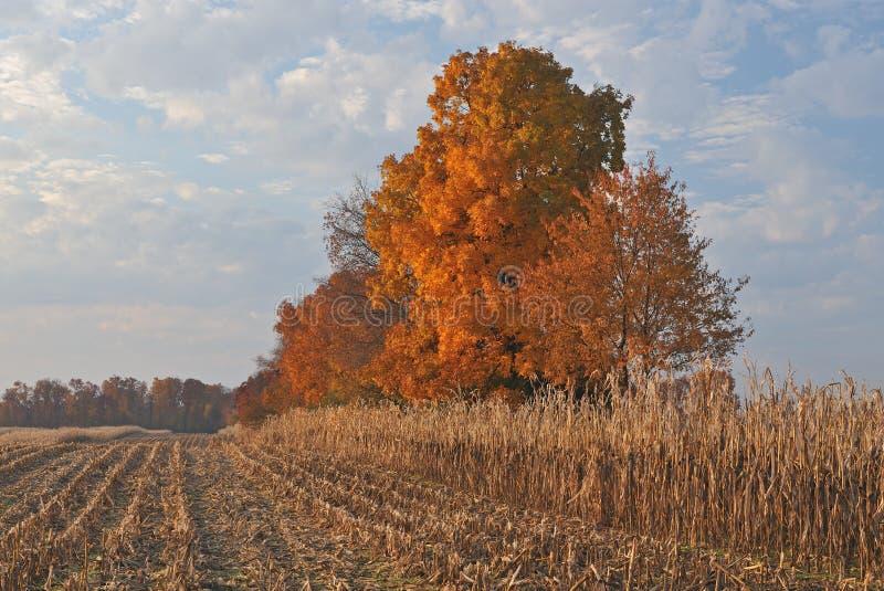 De Esdoorns van de herfst op het Gebied van het Graan royalty-vrije stock afbeelding