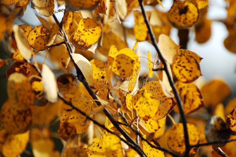De espbladeren van de herfst royalty-vrije stock fotografie