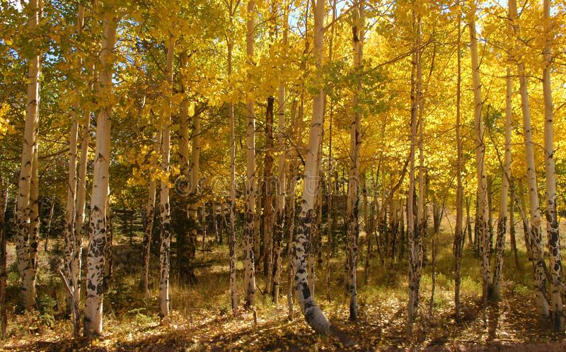 De Espen van Colorado in de late stadia van daling royalty-vrije stock foto's