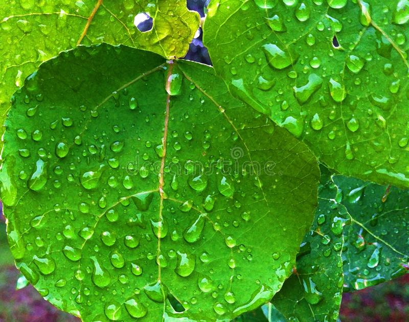 De Espenbladeren van Colorado met regendalingen stock afbeeldingen