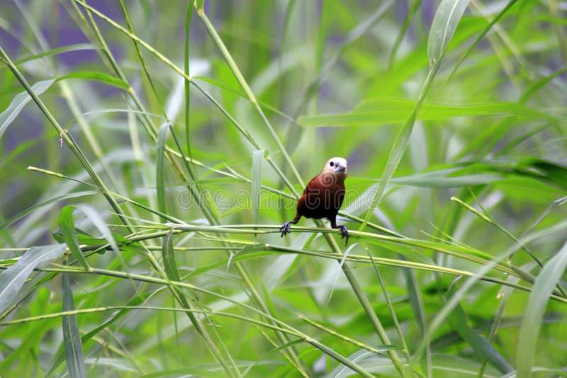 De Estrildidae-Reeks stock foto's