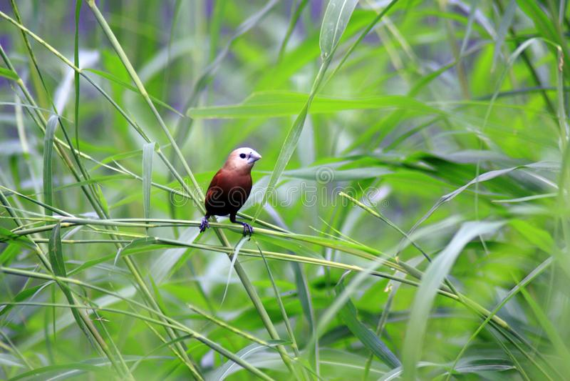 De Estrildidae-Reeks stock foto