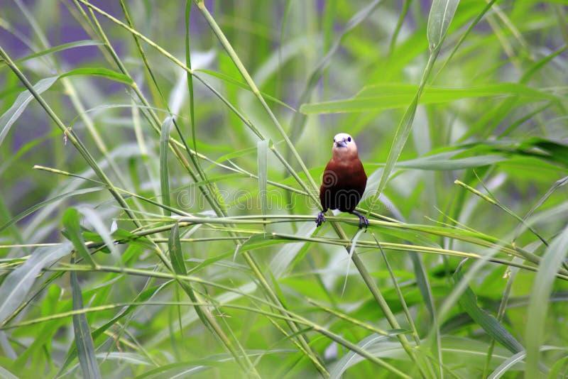 De Estrildidae-Reeks royalty-vrije stock fotografie