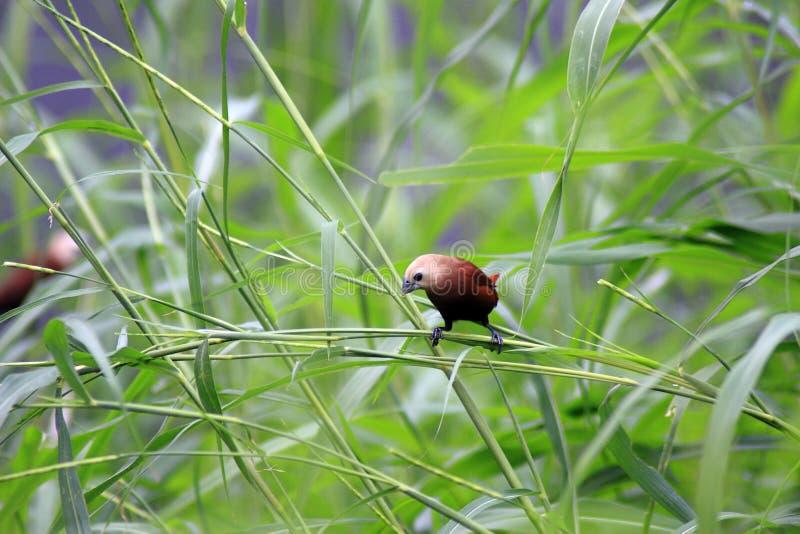 De Estrildidae-Reeks royalty-vrije stock foto's