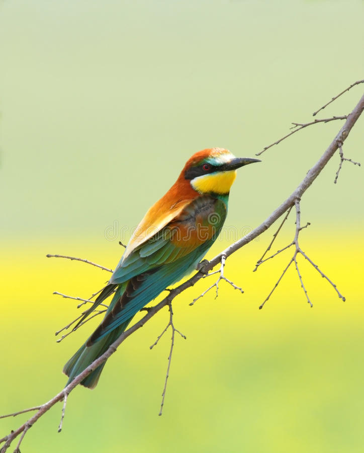 De eter van de bij (merops apiaster) stock fotografie