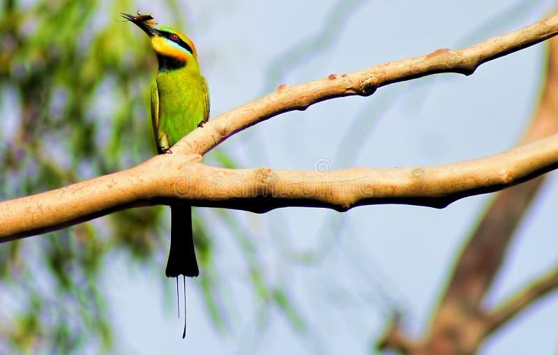 De Eter van de regenboogbij in mijn Tuin stock foto