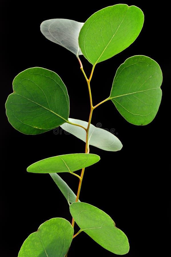 De eucalyptus doorbladert royalty-vrije stock fotografie