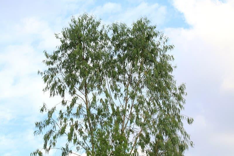 De eucalyptus verlaat boom voor de olie van de verwerkende industrieeucalyptus en document, de struiken van de eucalyptusaanplant stock foto