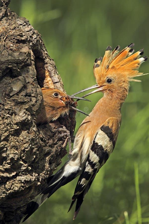 De Europees-Aziatische hoopoevogel geeft voedsel aan jongelui royalty-vrije stock afbeeldingen