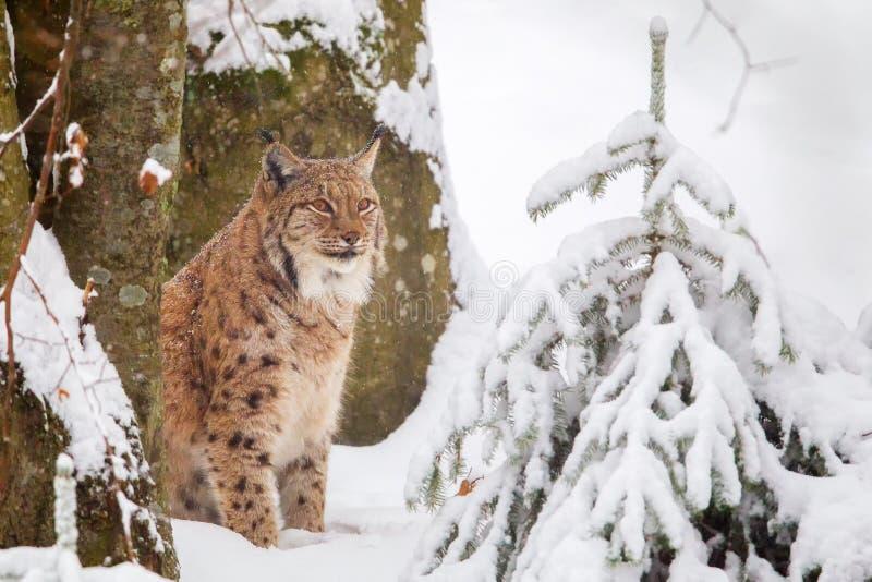 De Europees-Aziatische lynx van de lynxlynx royalty-vrije stock afbeeldingen