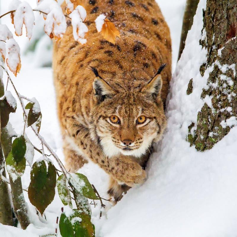 De Europees-Aziatische lynx van de lynxlynx stock afbeelding