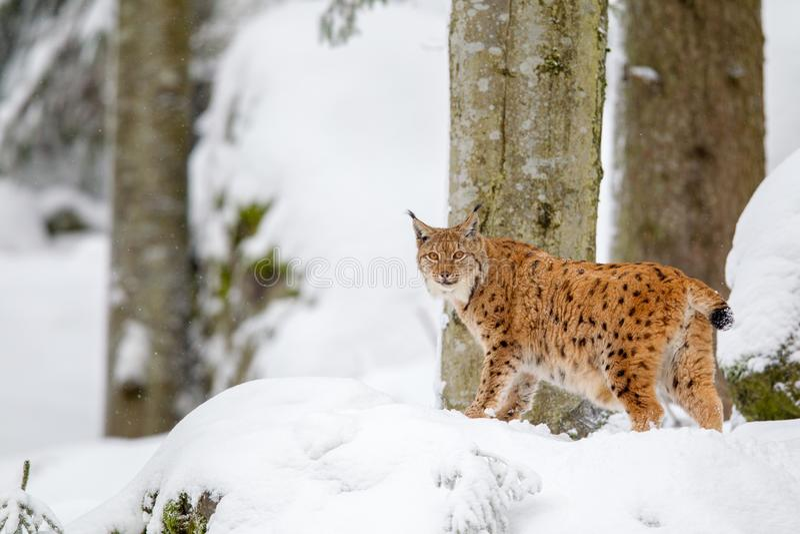De Europees-Aziatische lynx van de lynxlynx stock foto's