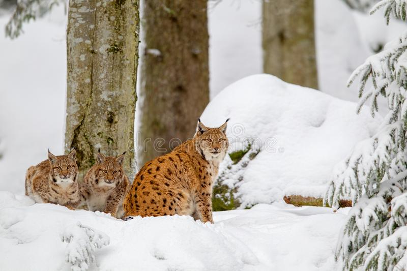 De Europees-Aziatische lynx van de lynxlynx royalty-vrije stock foto