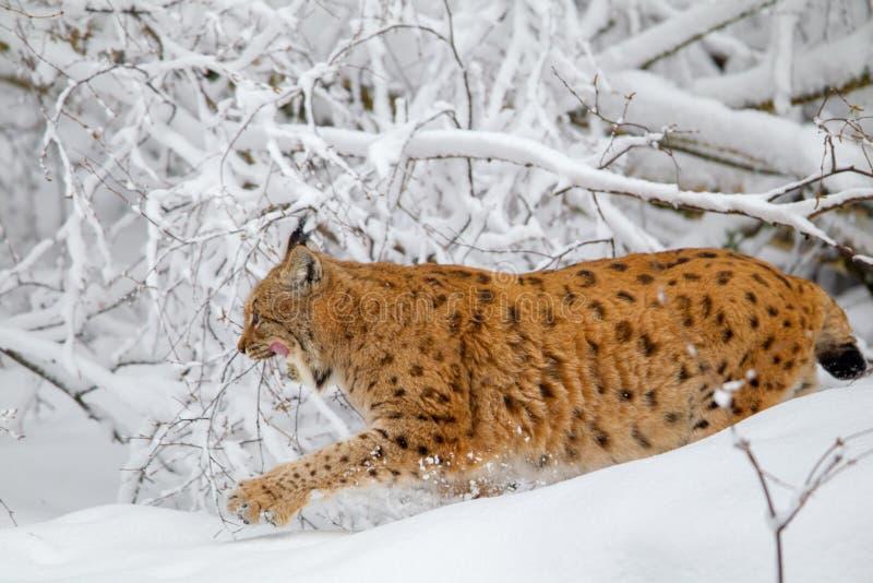 De Europees-Aziatische lynx van de lynxlynx royalty-vrije stock foto's