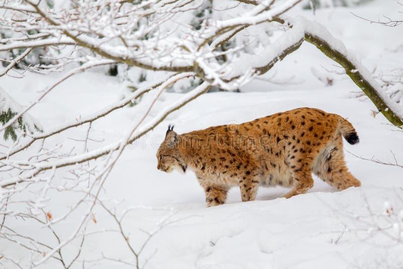 De Europees-Aziatische lynx van de lynxlynx stock fotografie