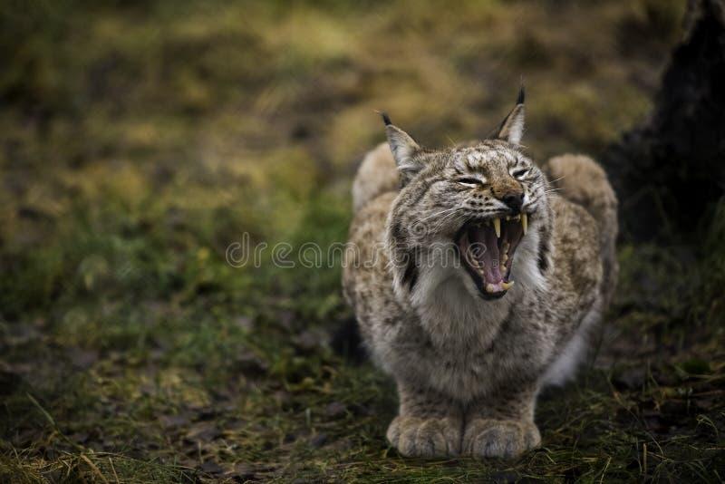 De Europees-Aziatische Lynxgeeuwen en toont grote en scherpe tanden Close-upportret van de wilde kat in het natuurlijke milieu stock afbeelding