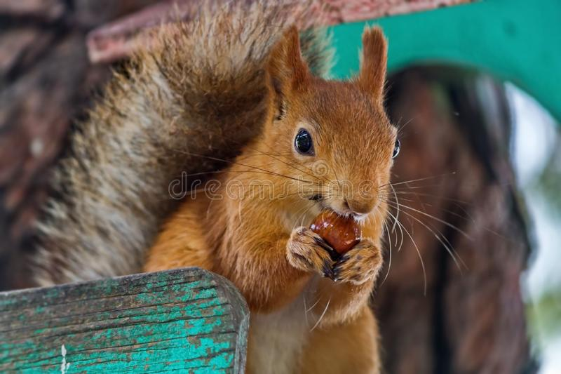 De Europees-Aziatische rode eekhoorn knaagt aan noten De gewone Eekhoorn vulgaris Sciurus is de soort knaagdieren van de eekhoorn stock fotografie