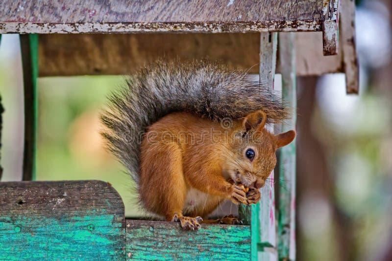 De Europees-Aziatische rode eekhoorn knaagt aan noten De gewone Eekhoorn vulgaris Sciurus is de soort knaagdieren van de eekhoorn royalty-vrije stock afbeelding