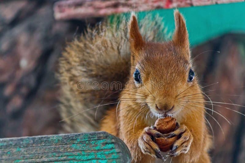De Europees-Aziatische rode eekhoorn knaagt aan noten De gewone Eekhoorn vulgaris Sciurus is de soort knaagdieren van de eekhoorn stock foto