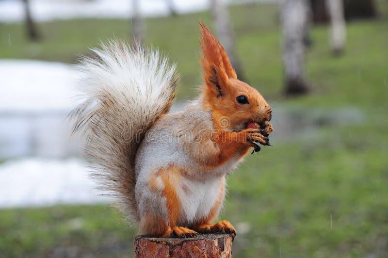 De Europees-Aziatische rode eekhoorn zit op een stomp en knaagt aan een noot die vuile poten houdt royalty-vrije stock fotografie