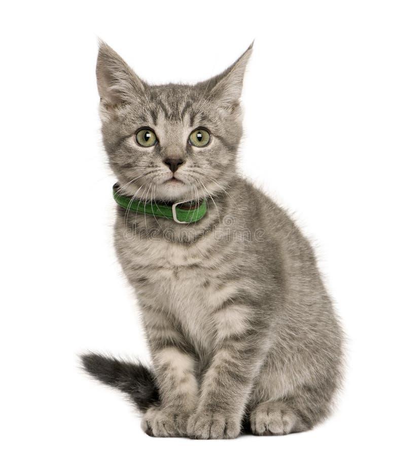 De Europese kat die van het katje de camera bekijkt royalty-vrije stock afbeelding