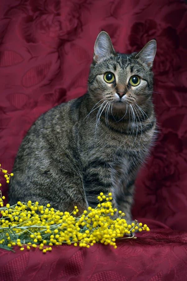 De Europese kat van de shorthairgestreepte kat op een rode achtergrond stock afbeeldingen