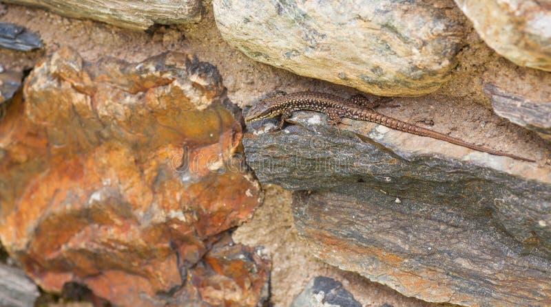 De Europese Muurhagedis op de Pyreneeën schommelt bergen stock fotografie