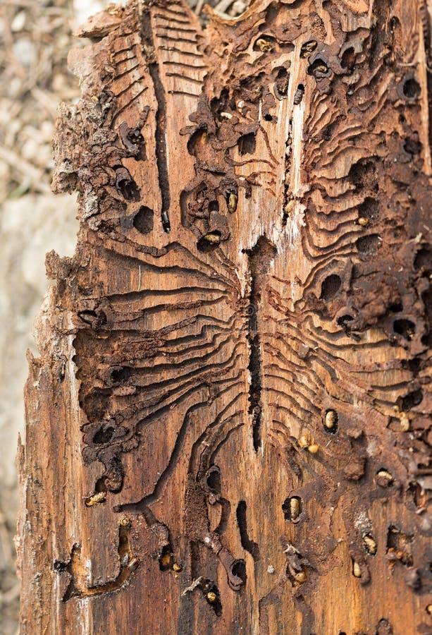 De Europese nette schorskever Sporen van een ongedierte op een boomschors royalty-vrije stock foto