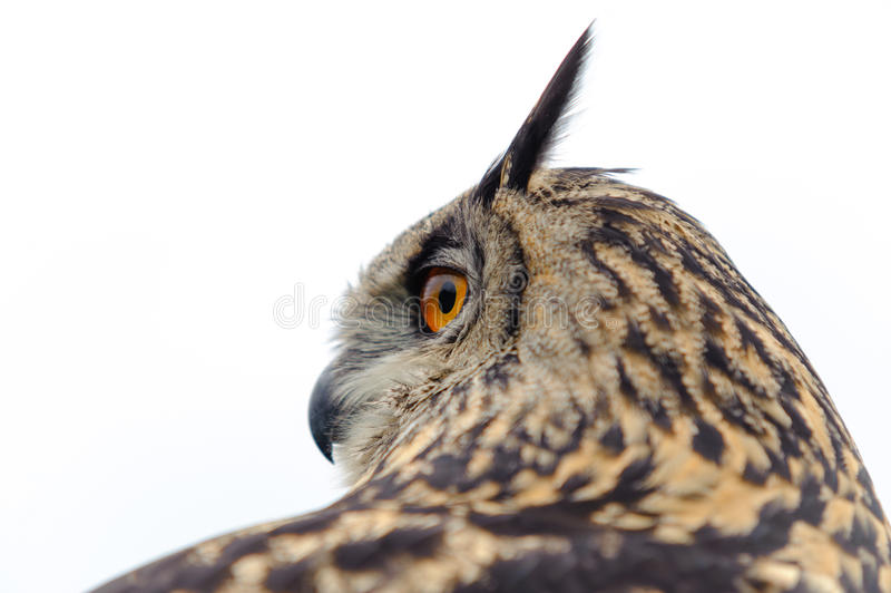 De Europese Uil van de Adelaar