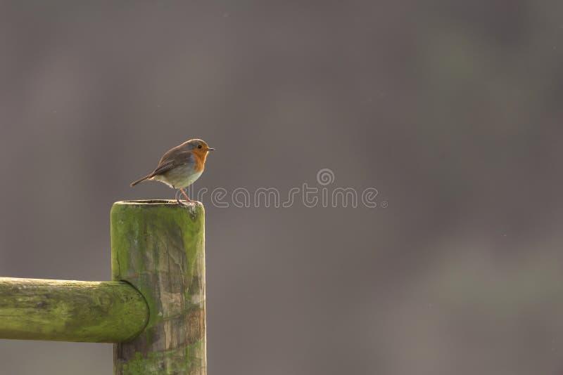 De Europese vogel van Robin royalty-vrije stock afbeeldingen