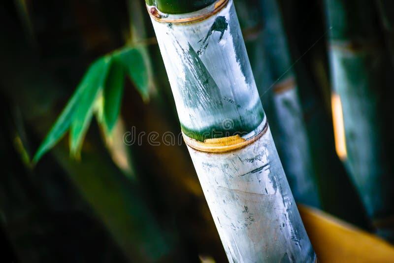De exotische mooie groene kleur van de bamboeinstallatie royalty-vrije stock fotografie