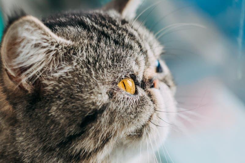 De exotische Shorthair-macrofoto van het kattenras het hoofd van de close-upkat met oranje oog royalty-vrije stock foto