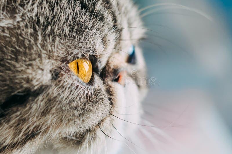 De exotische Shorthair-macrofoto van het kattenras het hoofd van de close-upkat met oranje oog stock afbeelding
