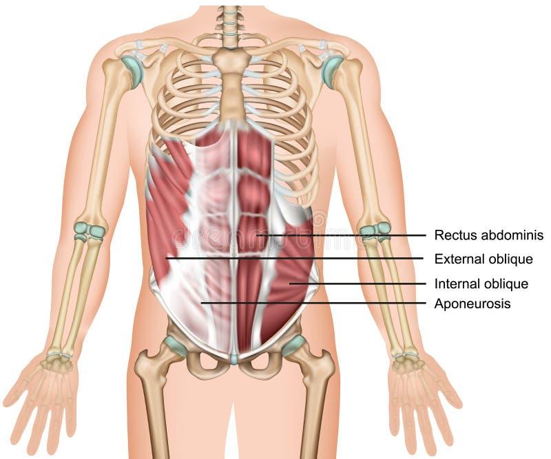 De externe schuine buikspier van de spier 3d medische illustratie stock illustratie