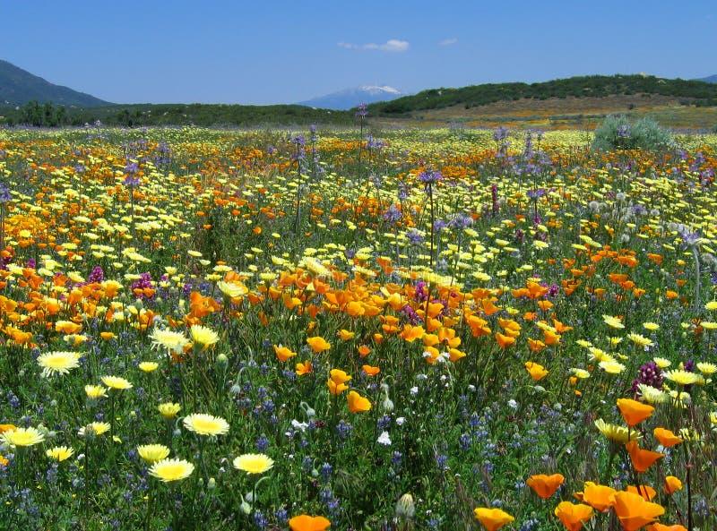 De extravagantie van Californië wildflower stock afbeeldingen