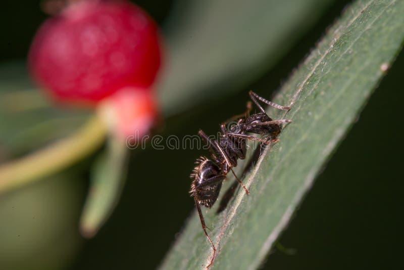 De extreme close-up detailleerde beeldmier die op blad met rode bes op achtergrond beklimmen - groot macrodetail van mier stock fotografie