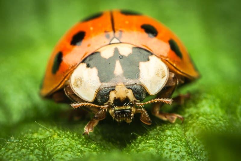 De extreme close-up van het lieveheersbeestje royalty-vrije stock foto