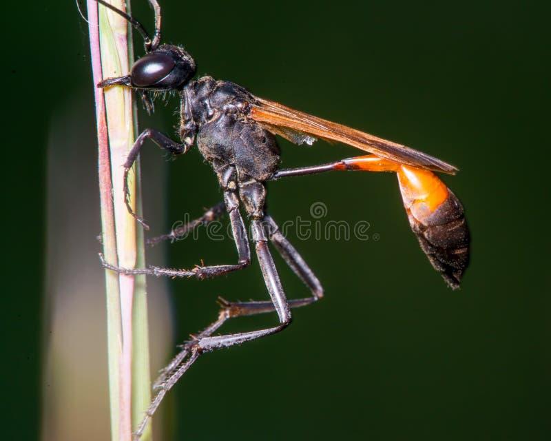 De extreme close-up van wat ik geloof is een draad-verspilde wesp die - mond op lang gras/riet gebruiken - in het Houten Centrum  royalty-vrije stock fotografie