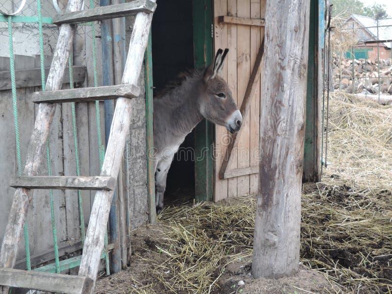 De ezel kijkt uit de stal in het landbouwbedrijf royalty-vrije stock afbeelding