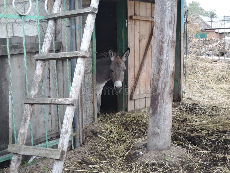 De ezel kijkt uit de stal in het landbouwbedrijf stock foto's