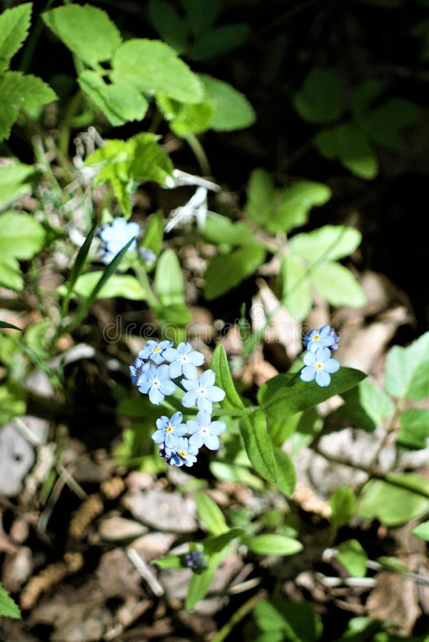 De första blåa blommorna av förgätmigejen i tidig vår royaltyfria foton