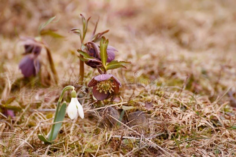 De första blommorna är snödroppen och den purpurfärgade helleboren i en skogglänta väcka natur arkivfoton