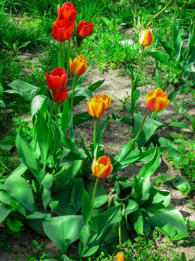 De första blommorna av att blomstra tulpan, på våren trädgård royaltyfri bild