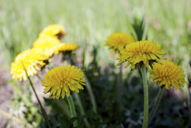 De första maskrosorna, blommor royaltyfri bild