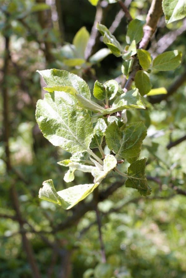 De första sidorna av äppleträdet i tidig vår arkivbilder