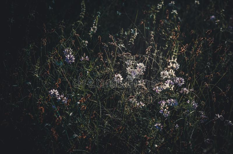 De första soliga morgonstrålarna av solen reflekteras i en skogglänta Lösa ängblommor och örter N?rbild Stranda av h?r v?nder mot royaltyfria foton